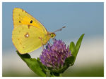 Title: Colias crocea Camera: Nikon D300s