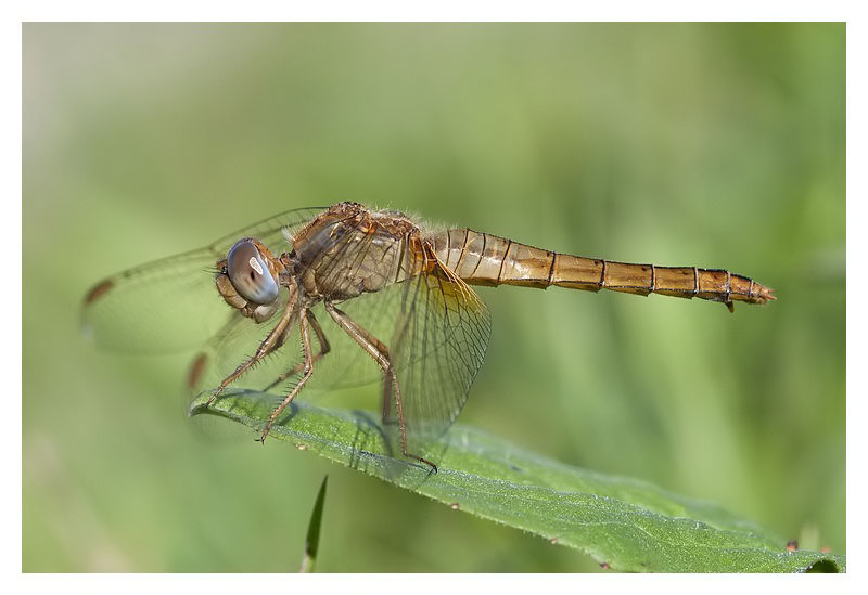 Crocothemis erythraea (female)