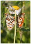 Title: Time of love (Melitaea didyma)