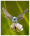 Title: Face to face (Polyommatus icarus)