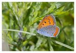 Title: Lycaena dispar Camera: Nikon D300s