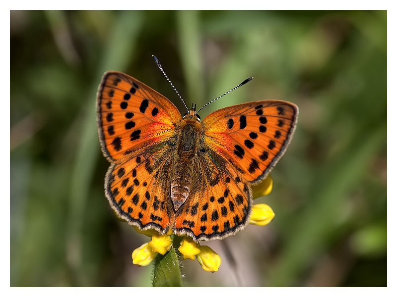 Lycaena virgaurea (female)