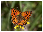 Title: Lycaena virgaurea (female)