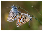 Title: Plebejus argus (Time of love)