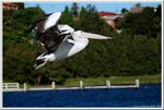 Title: Pelican Taking Off
