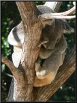 Title: How much can a Koala bare?