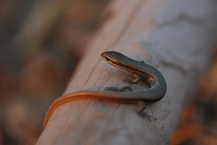 Red-Tailed Lizard