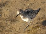 Title: Black-bellied Plover (Pluvialis squataro