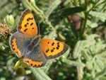 Title: Small copper (Lycaena phlaeas) - femaleSony DSC-H1