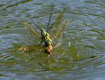 Title: Dragonflies fighting