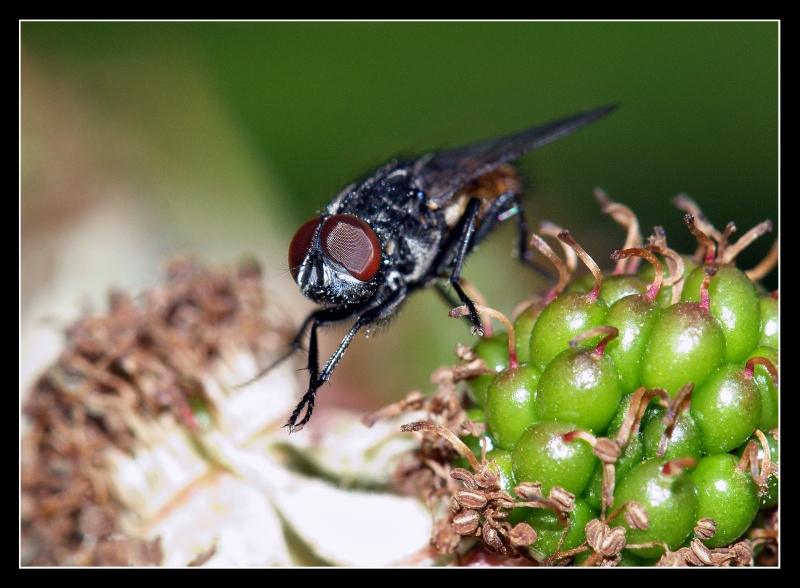Fly on Green Blackberry