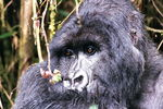 Title: Gorilla at Rest
