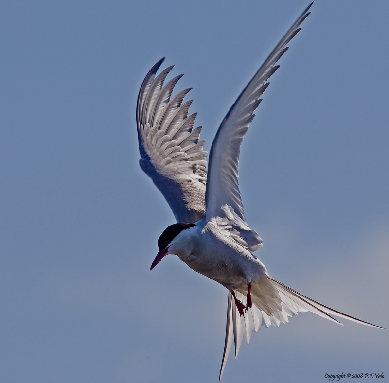 TrekNature | Arctic Tern Photo