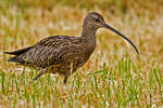Title: Curlew