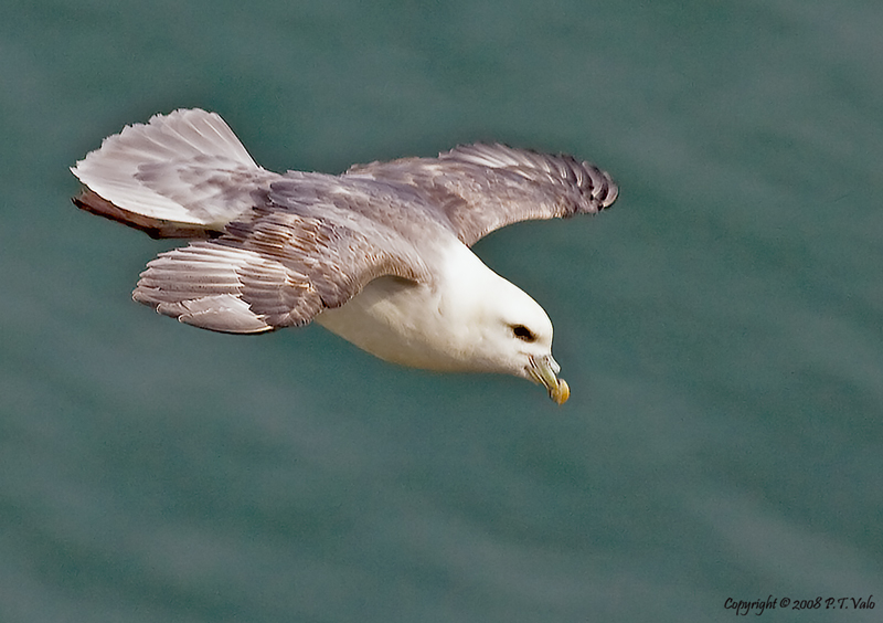 Fulmar in dive