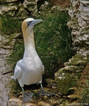 Title: Gannet *100th post*