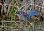 Title: Green Heron in flight