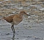 Title: Young Redshank