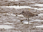 Title: Grey Plover