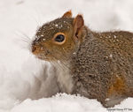 Title: Grey Squirrel