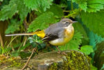 Title: Grey Wagtail