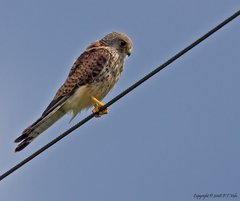 Young Kestrel *for Joe, Necip and Vinny*