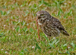 Title: Early bird - Little Owl