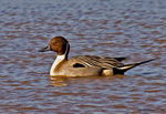 Title: Northern Pintail