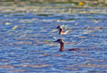 Title: Red-necked Grebe
