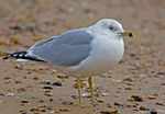Title: Ring-billed Gull