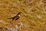 Title: Ring Ouzel