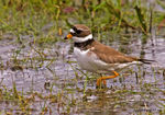 Title: Ringed Plover