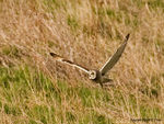 Title: Short-eared Owl hunting