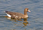 Title: White-fronted Goose