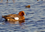Title: Wigeon