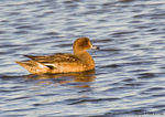 Title: Miss Wigeon