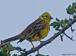 Title: Yellowhammer