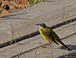 Title: Yellow Wagtails