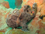 Title: Frogfish