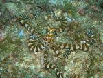 Title: Mimic Octopus