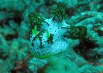 Title: Nudibranch