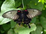 Title: Old swallowtail