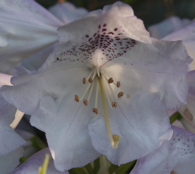 Detail of white Rhododendron