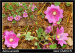 Title: Alcea acaulis for Christodoulos&Yiannis