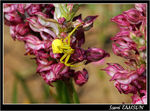Title: Crab spider & Orchis fragrans