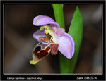 Title: Ophrys lapethica