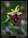 Title: Ophrys mammosa