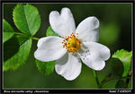 Title: Rosa micrantha subsp chionistrae