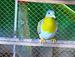 Title: Yellow footed Green Pigeons