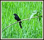 Title: Drongo....